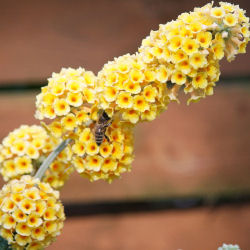 Buddleia Yellow 'Sungold'