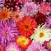 Low price Dahlia bulbs - End of season offers