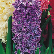 Low price Hyacinths bulbs - End of season offers