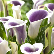 Arum lily 'Picasso'