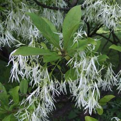 Fringe tree, Old man's beard