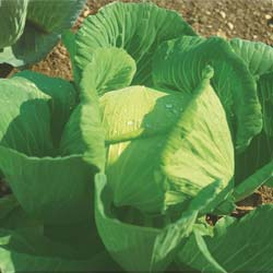 Brunswick Cabbage