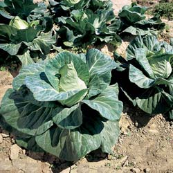 Chateaurenard pointy Cabbage