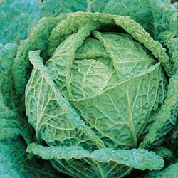 Saint John Savoy Cabbage