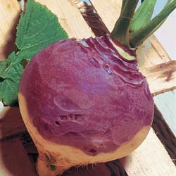 Champion Collet Rouge Swede Rutabaga