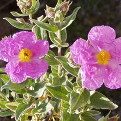 Rockrose, grey leaved
