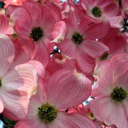 Dogwood, Flowering 'Cherokee Chief'