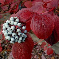 Dogwood, red barked
