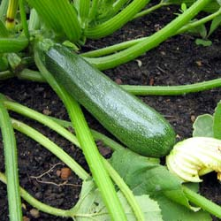 Courgette seeds - Profusion F1 Courgette