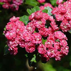 Red flowering Hawthorn 'Paul's Scarlet'