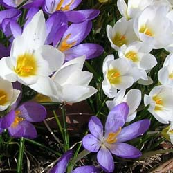 Crocus Vernus white blue mix