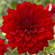 Dahlia Decorative 'Abba'