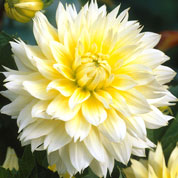 dahlia decoratif -canary fubuki