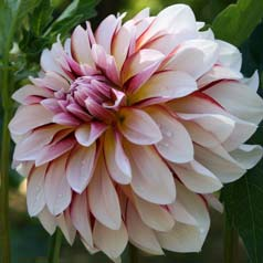 Decorative Dahlia 'Carribean Fantasy'