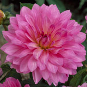 Dahlia Decorative 'Christine'