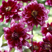 Decorative Dahlia 'Darkarin'