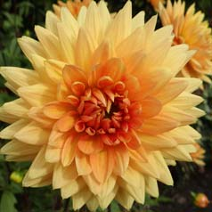Dahlia Decorative 'House of Orange'