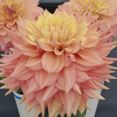 Decorative Dahlia 'Peaches and Cream'
