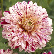 Dahlia Decorative 'Smokey'