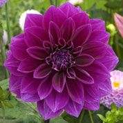 Dahlia Large Flowers Decorative 'Thomas Edison'