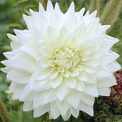 Dahlia Decorative 'White Perfection'
