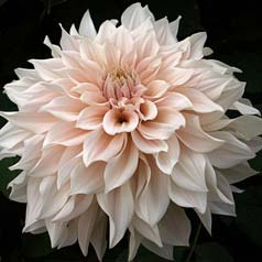 Dahlia Large Flowers Decorative 'Café au lait'