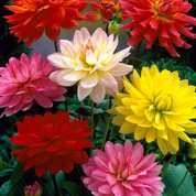Dahlia Dwarf Decorative mixed