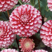 Dahlia Pompom 'Little William'