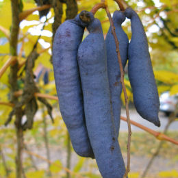 Blue Bean Shrub, Dead Man's Fingers