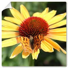 Coneflower 'Evening Glow'