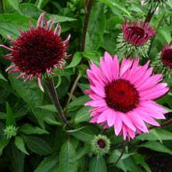 Coneflower 'Fatal Attraction'