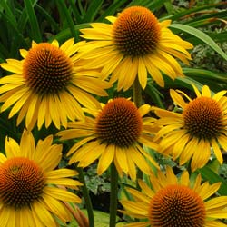 Coneflower 'Maui Sunshine'