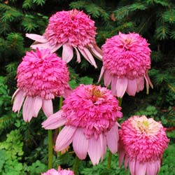 Coneflower 'Secret Romance'