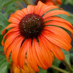 Coneflower 'Tangerine Dream'