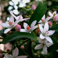 Long leaf waxflower