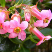 Escallonia macrantha, Pink
