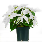 White Poinsettia, White Christmas Flower