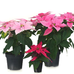 Pink Poinsettia, Pink Christmas Flower
