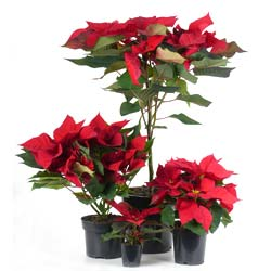 Red Poinsettia, Christmas Flower