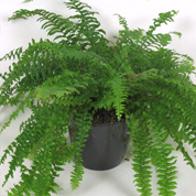 Boston Fern + Anthracite Cachepot