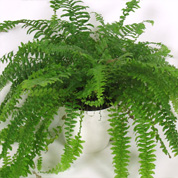 Boston Fern + White Cachepot