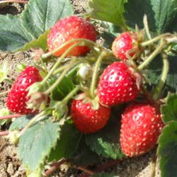 Strawberry Plant 'Mount Everest'