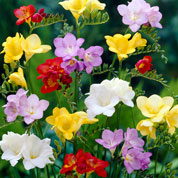 Freesia Mixed
