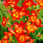 Freesia Single Red