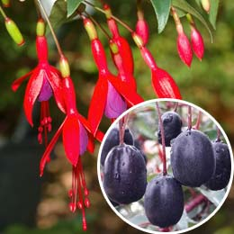 Fuchsia, Edible Royal