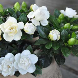 Gardenia 'Crown Jewel'