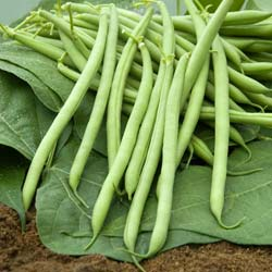 Beans seeds - Dwarf French Bean 'Castandel'