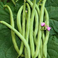 Dwarf Yellow French bean Contender