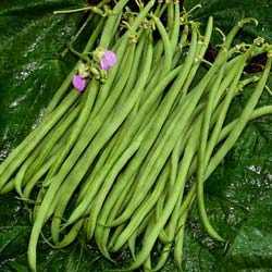 Beans seeds - Dwarf French Bean 'Cupidon'