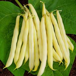 Beans seeds - Dwarf French Bean 'Kinghorn Wax'